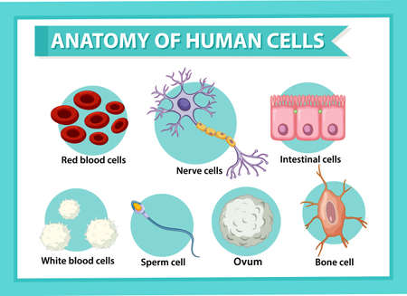 Information poster on human cells illustration
