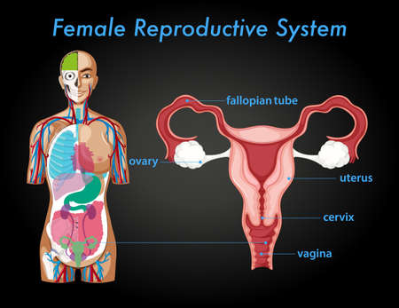 Information poster of female reproductive system illustration