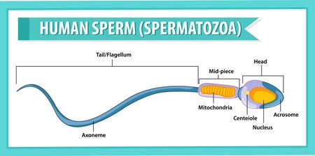 Human Sperm or spermatozoa cell structure illustration