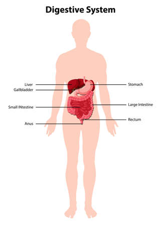 Diagram of human digestive system illustration