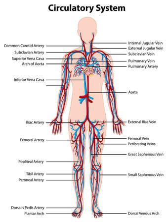 Anatomy of circulatory system illustration Ilustración de vector