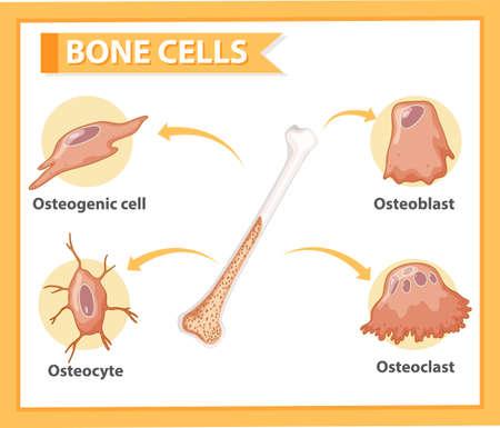Human bone cells anatomy illustration