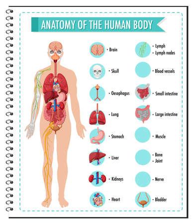 Anatomy of the human body information infographic illustration Stock Illustratie