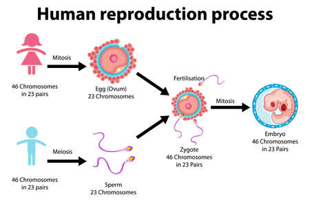 Reproduction Process of Human infographic illustration