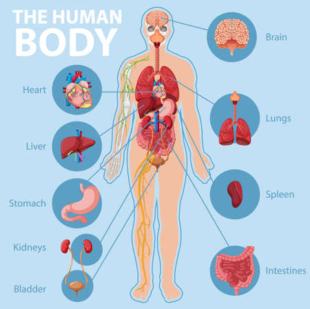 Anatomy of the human body information infographic illustration