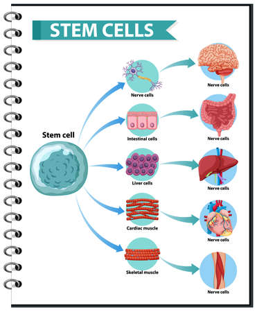 Illustration of the Human Stem Cell Applications on a white background illustration