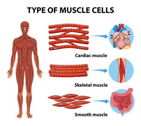 Type of Muscle Cells for health education Infographic illustration
