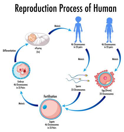 Reproduction Process of Human infographic illustration 免版税图像 - 161313839