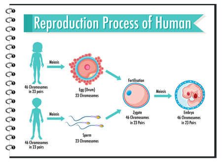 Reproduction Process of Human infographic illustration 免版税图像 - 161313817