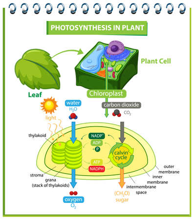 Diagram showing process of photosynthesis in plant illustration Ilustracja