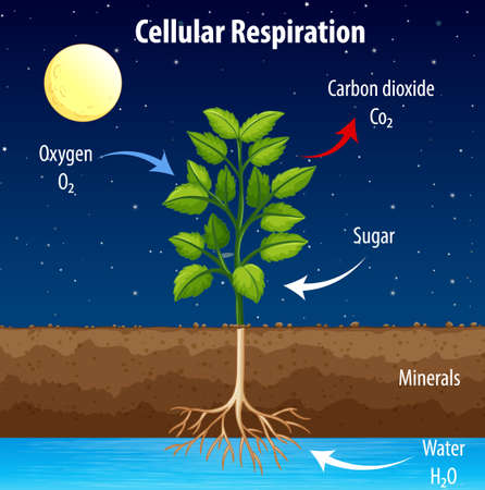 Diagram showing process of cellular respiration illustration