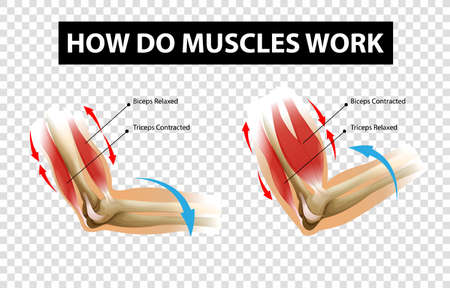 Diagram showing how do muscles work with labels on transparent background illustration 矢量图像