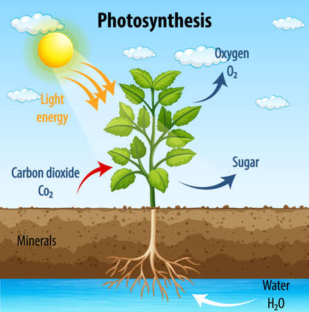 Diagram showing process of photosynthesis in plant illustration