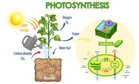 Diagram showing process of photosynthesis in plant illustration Ilustración de vector