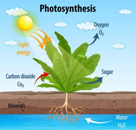 Diagram showing process of photosynthesis in plant illustration Ilustração