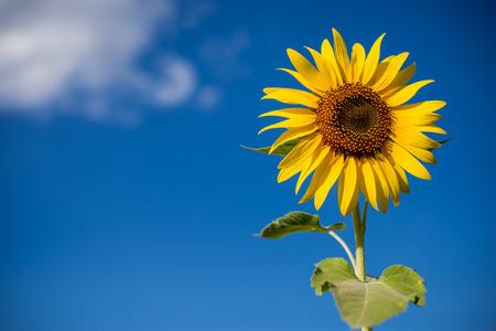agrar: Sunflowers in field with blue sky Stock Photo