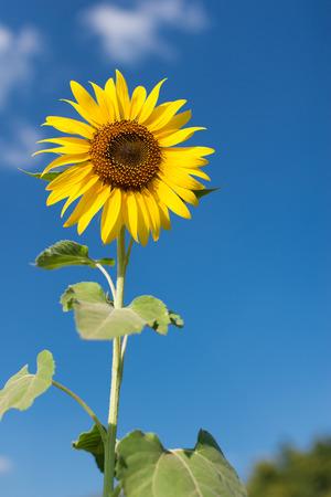 agrar: Sunflower with blue sky