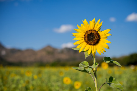 agrar: Sunflowers in field with blue sky and mountain background Stock Photo