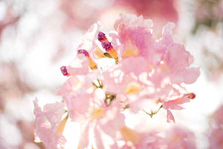 Spring Pink Blossoms ,Pink flowers