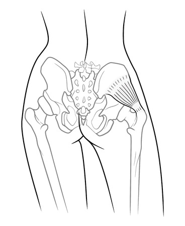 The internal structure of the pelvic girdle female skeleton and gluteus minimus muscle, rear view. On a white background