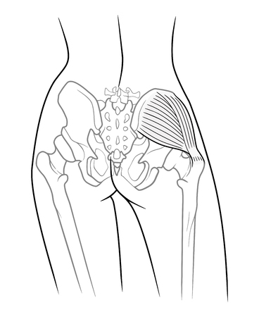 The internal structure of the pelvic girdle female skeleton and gluteus medius muscle, rear view. On a white background