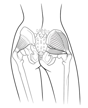 The internal structure of the pelvic girdle female skeleton and gluteus minimus muscle, gluteus medius muscle and piriformis,  rear view. On a white background Illustration