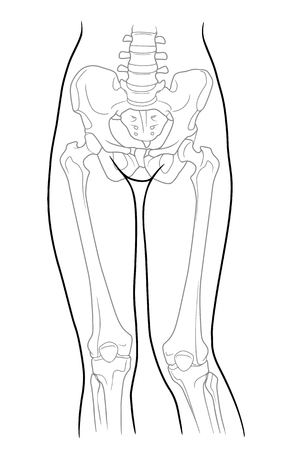 groin: Build, pelvic girdle and lower limb girdle knee female skeleton and bones of the legs, front view. On a white background