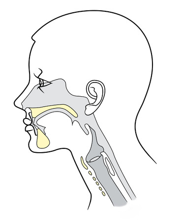 The structure of the nasopharynx in section on a white background