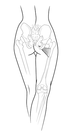 A fragment of the female body, backside - the lower back, pelvis and legs below the knee to the skeletal elements,  small adductor muscle, rear view. Isolated on a white background. Illustration