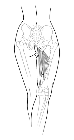 groin: A fragment of the female body, backside - the lower back, pelvis and legs below the knee to the skeletal elements, large adductor muscle, rear view. Isolated on a white background.