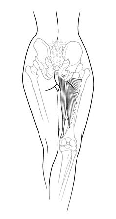 A fragment of the female body, backside - the lower back, pelvis and legs below the knee to the skeletal elements, large and small adductor muscle, rear view. Isolated on a white background.