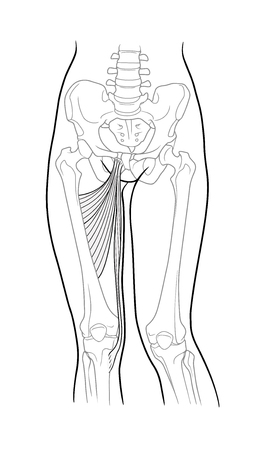 Thin thigh muscle, long adductor hamstrings, short adductor femur and female skeleton and bones of the legs, front view. On a white background Illustration