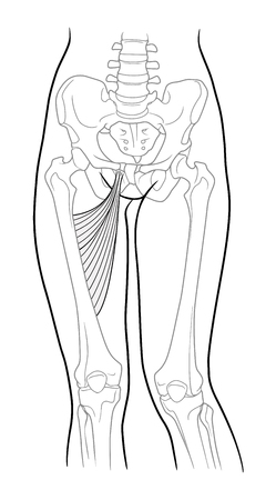 Long adductor hamstrings, short adductor femur and female skeleton and bones of the legs, front view. On a white background