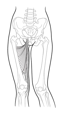 Adductor hamstrings: large adductor muscle, small adductor muscle, short adductor muscle, long adductor muscle and thin hip thigh. Front view. Vector. Isolated on white backgroundVector. Isolated on white background