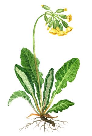Primrose herb on a white background