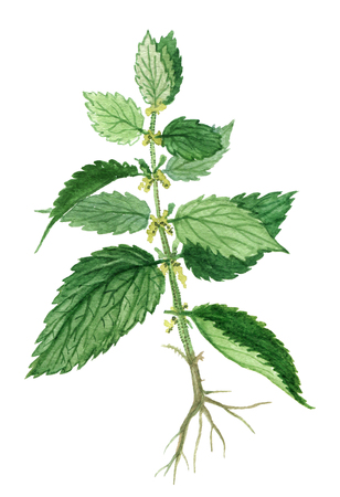 Nettle herb on a white background