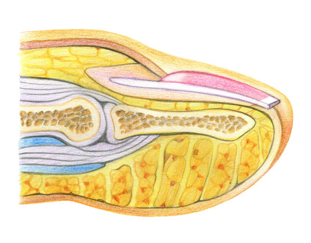 Anatomy scheme of nail on white background
