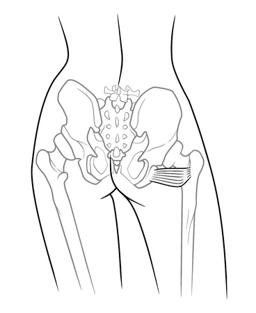 groin: The internal structure of the pelvic girdle human skeleton, Musculus quadratis femoris, Square thigh muscle,  rear view. On a white background