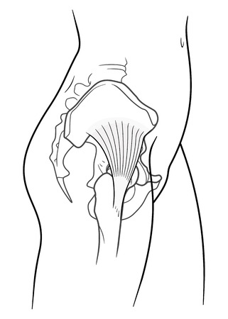 groin: The internal structure of the human pelvic belt,  gluteus minimus muscle, side view. On a white background