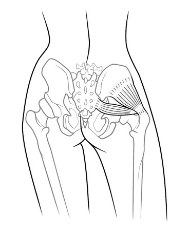 groin: The internal structure of the pelvic girdle female skeleton and gluteus minimus muscle and piriformis,  rear view. On a white background