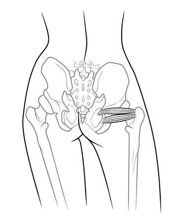 Niedlich Anatomie Des Beckengürtels Galerie - Anatomie Von ...