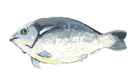 Fish dorado, gouache drawing, isolated on a white background