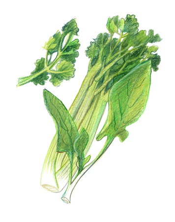 Stems of celery, leaves of spinach and parsley. Graphic drawing with colored pencils. Isolated on white background