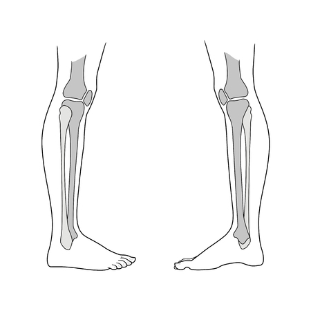 Lower limb of the person including the knee. Type of view and view from the inside. Large and small tibia, meniscus. Vector. Isolated on white background Illustration