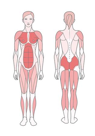 Figur der Frau, das Schema der grundlegend trainierten Muskeln. Vorder- und Rückansicht. Vektorgrafik