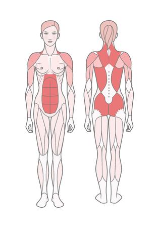 Figur der Frau, das Schema der trainierten Grundmuskulatur. Vorder- und Rückansicht.