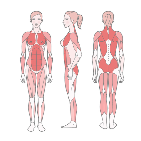 Figure of the woman, the scheme of the basic trained muscles. Front, rear and side views. Vector. Isolated on white background Illustration