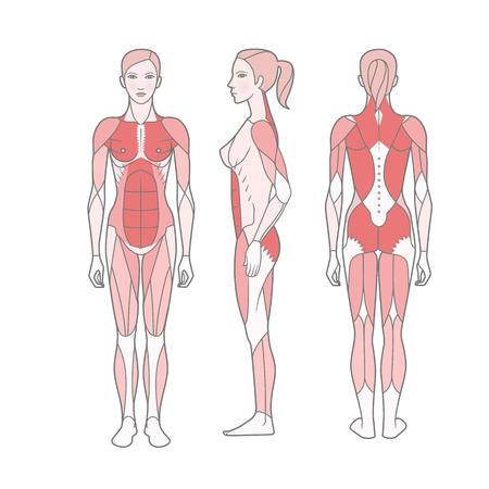 Figura della donna, schema dei muscoli allenati di base. Viste anteriore, posteriore e laterale. Vettore. Isolato su sfondo bianco Vettoriali