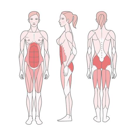 Figur der Frau, das Schema der grundlegend trainierten Muskeln. Vorder-, Rück- und Seitenansicht. Vektor. Auf weißem Hintergrund isoliert