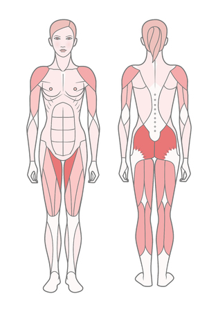 Figure of the woman, the scheme of the basic trained muscles. Front and rear view.  Isolated on white background,  EPS10